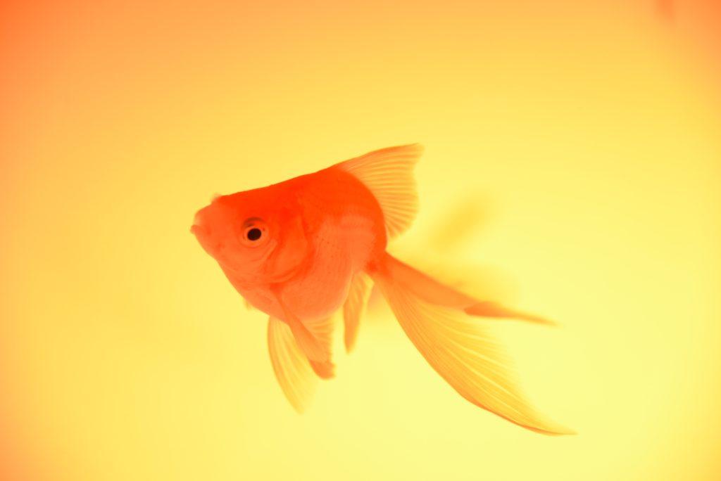金魚(キンギョ)の絵